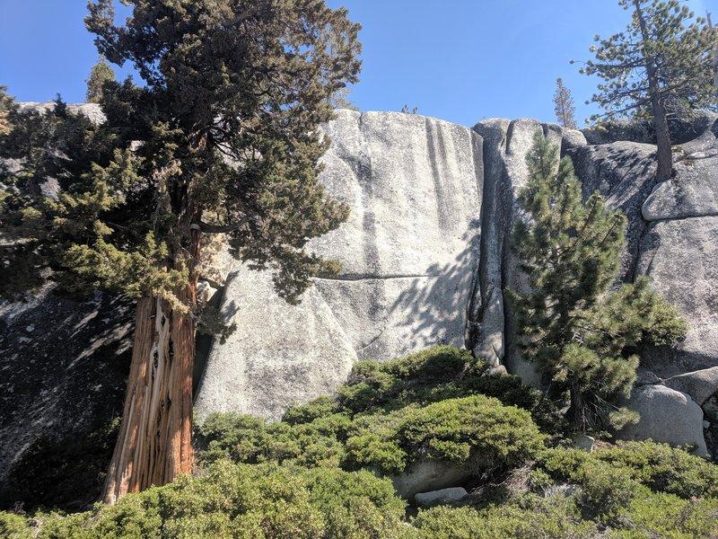 The big juniper