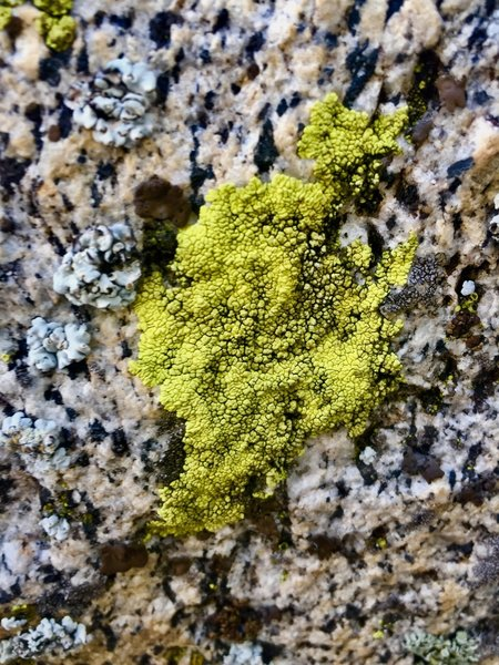 Close up of the micro chasm of Sierra Eastside lichen!