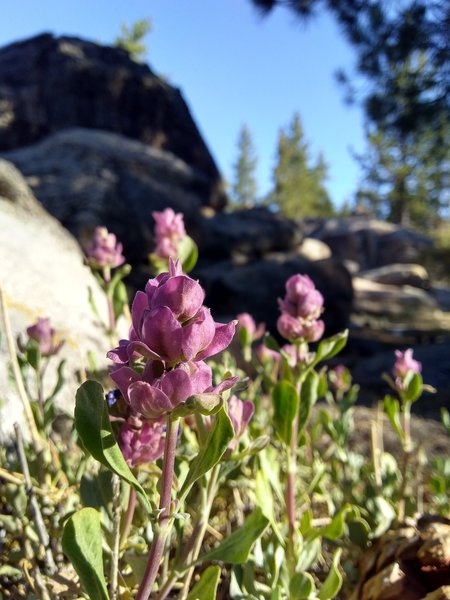 Rose Sage (Salvia pachyphylla), Holcomb Valley
