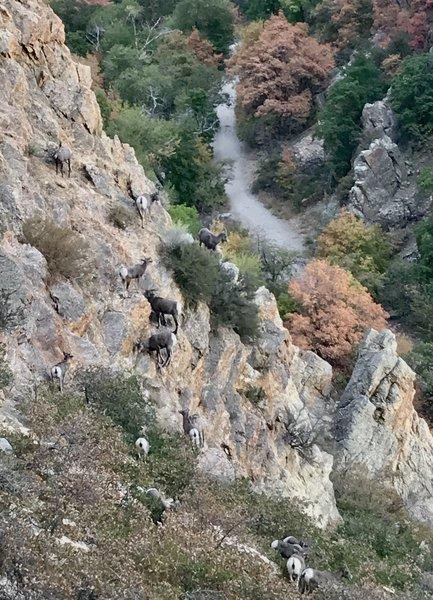 12 Bighorn Sheep below Dork Dot Rock