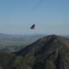 California Condor!