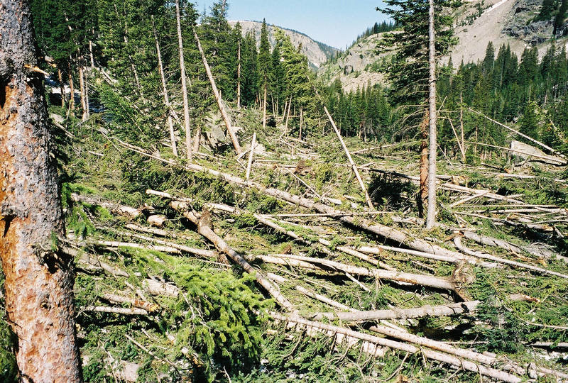 Avalanched trees on what's left of the trail from Pawnee Pass to Crater Lake.
