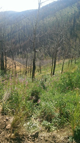 Wildflowers returning after the 2013 fire