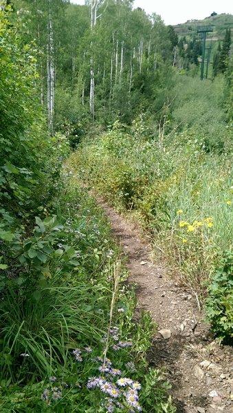 Wildflowers under the Jordanelle Gondola line