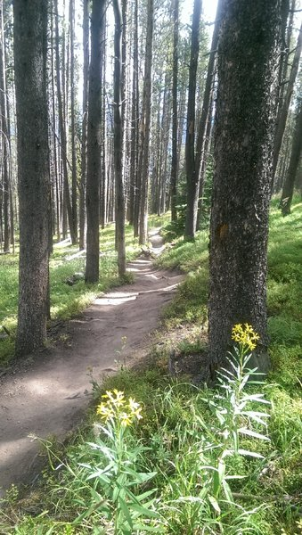Thin forest like this makes for good gladed skiing!