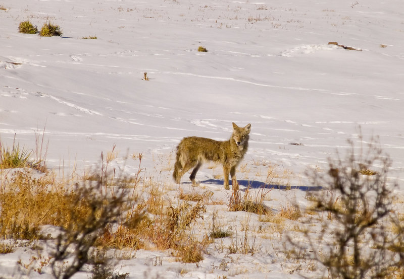 Coyote along the Skunk Canyon Trail