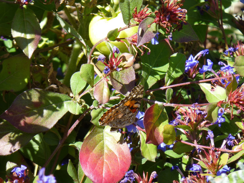 Wildflowers and butterflies are plentiful along portions of Mesa Trail during the spring and early summer months.