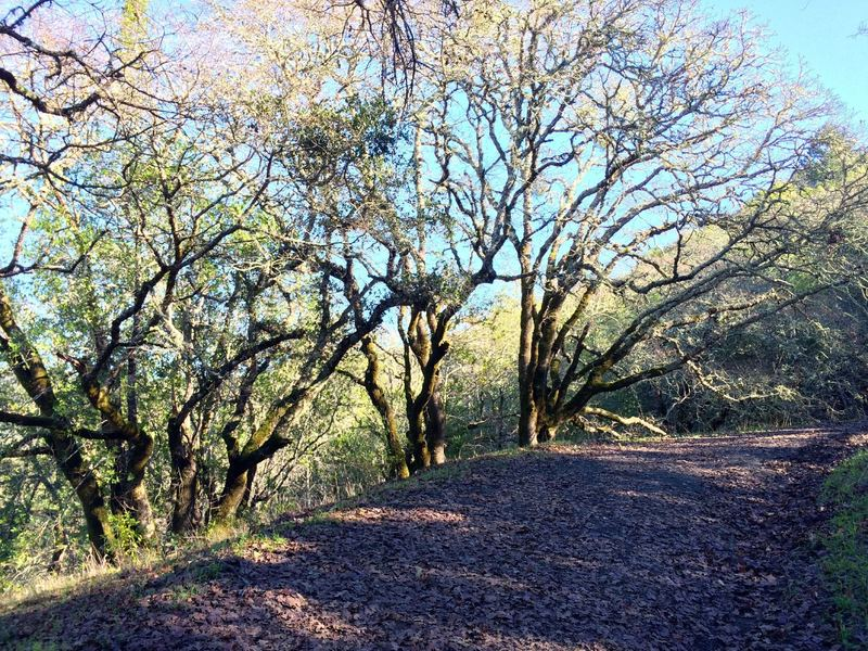 Nice oaks on the Hillside Trail