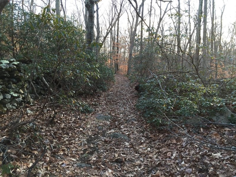 A Mountain Laurel tunnel on Perry Trail.