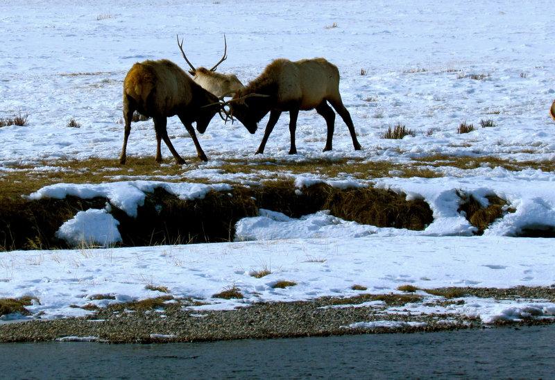 An elk battle on Granite Canyon.