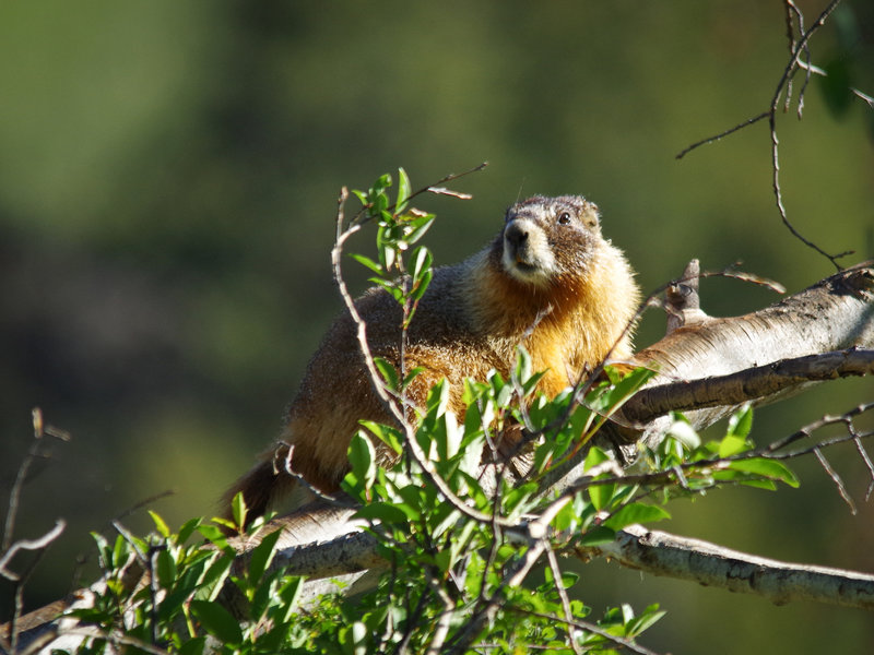 Rocky Mountain National Park: Yellow-Bellied Marmot