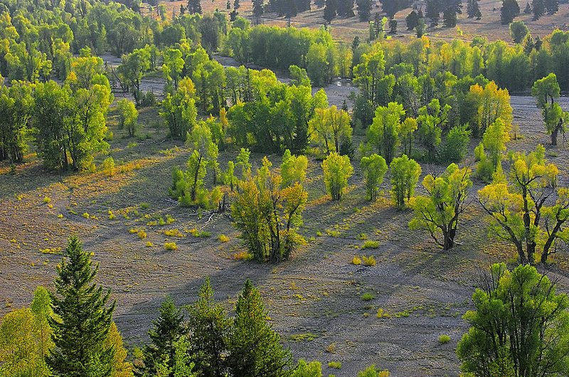Autumn cottonwood trees. Pilgrim Creek. Grand Teton National Park with permission from Ralph Maughan