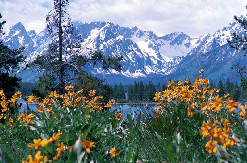 Wildflowers and mountains - typical Grand Teton