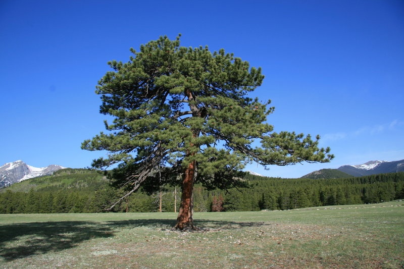 Tree in Glacier Basin Campground Meadow with permission from Richard Ryer