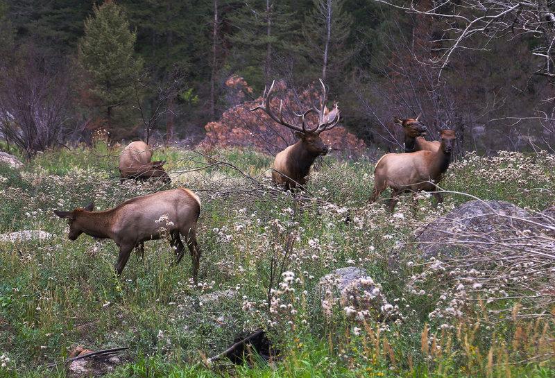 September 5, 2013 - Elk Rutt