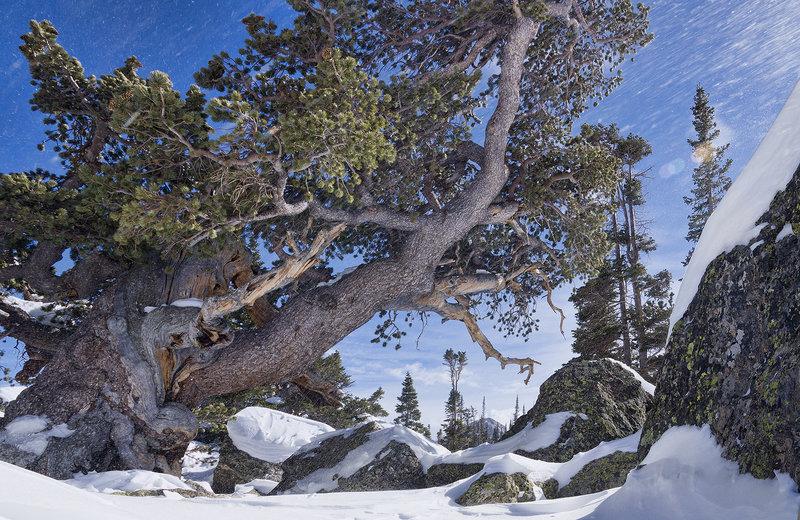 Blowing Snow Tree