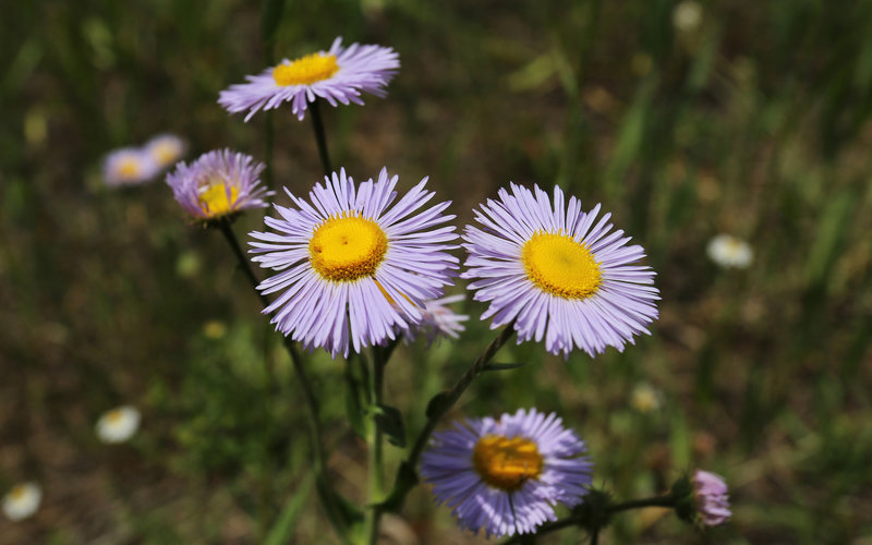 Three-Nerved Fleabane