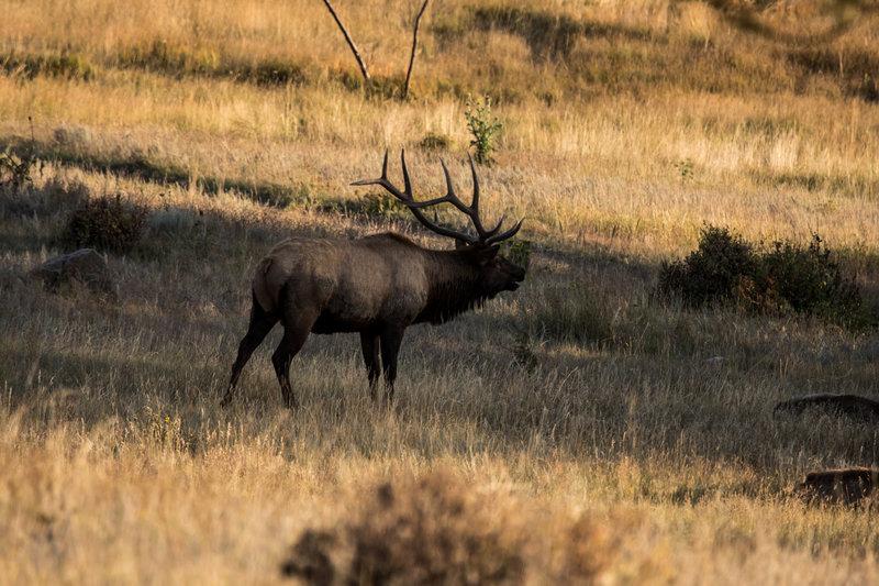 A bugling Elk.