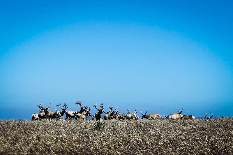 The elk at Point Reyes