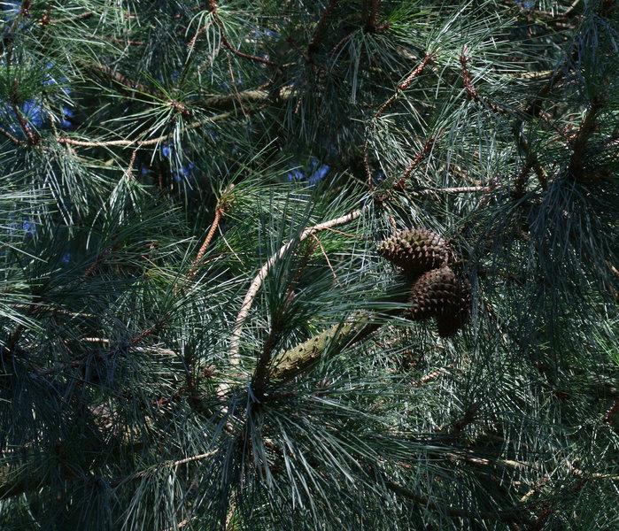 Pinus muricata (Bishop Pine)