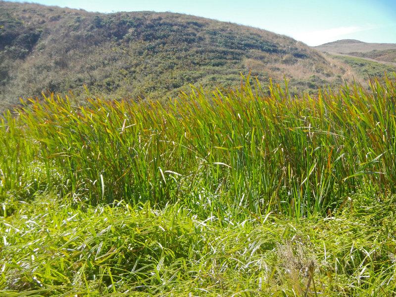 Marsh grasses along the Kehoe Beach trail
