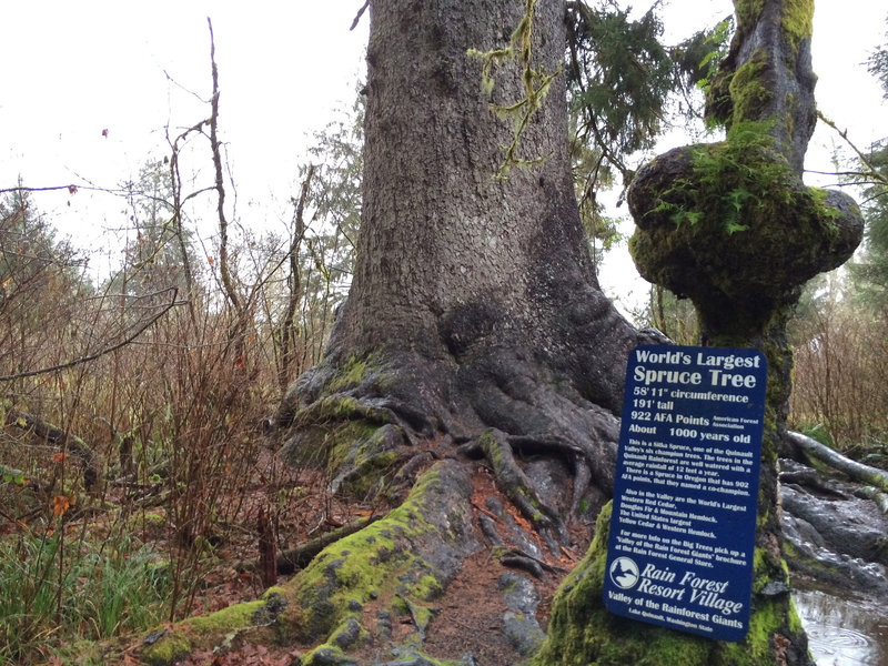 191' tall, 1000 years old