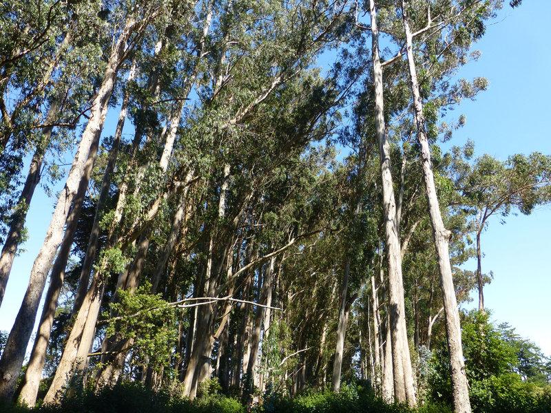 Stand of eucalyptus off the Kule Loklo Trail