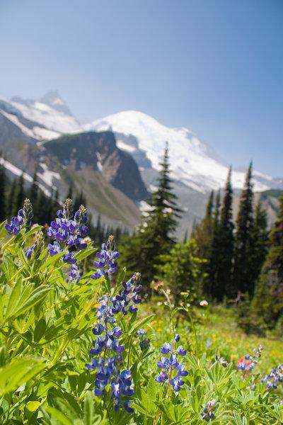 Wildflowers with Mt. Rainier backdrop