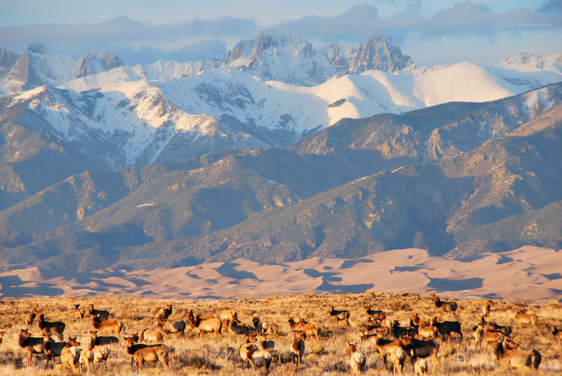 Elk herd, dunes, and Crestone Peaks