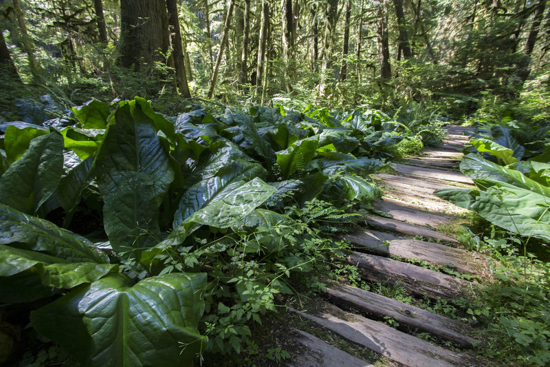 Boardwalk on the Rain Forest Trail near the Carbon River entrance.<br> NPS photo by Emily Brouwer
