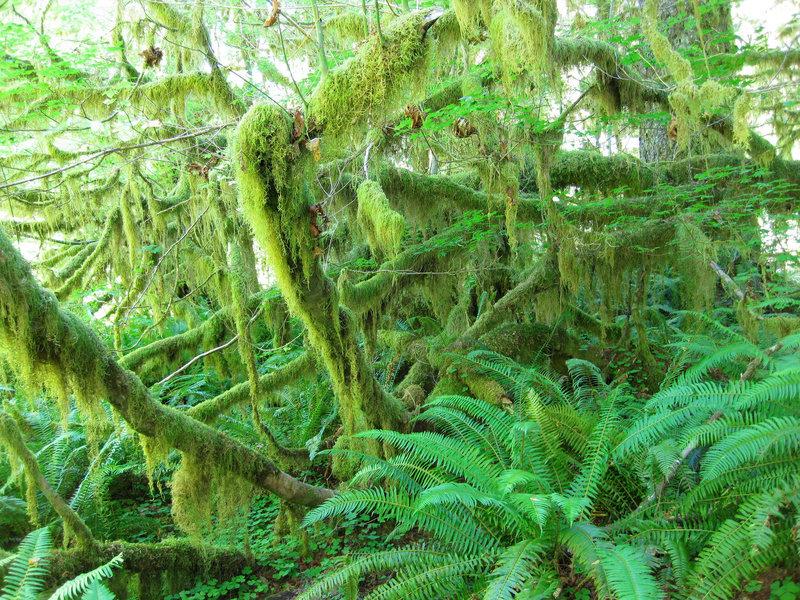 Greeny Hoh Rainforest
