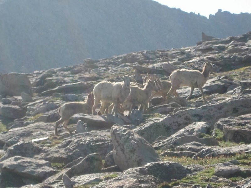 Bighorn sheep hanging out, high on Mt. Evans.