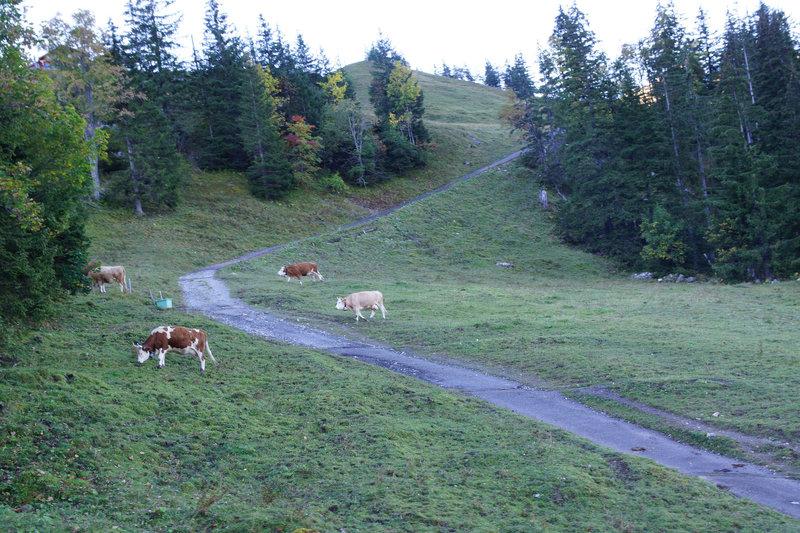 Cows along the Alpiglen Trail.