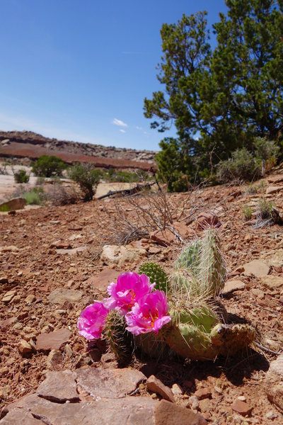 Klondike Bluffs cactus