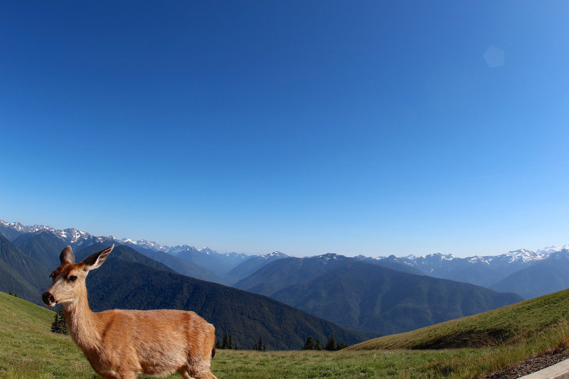 The deer and the Olympic Mountains overlook