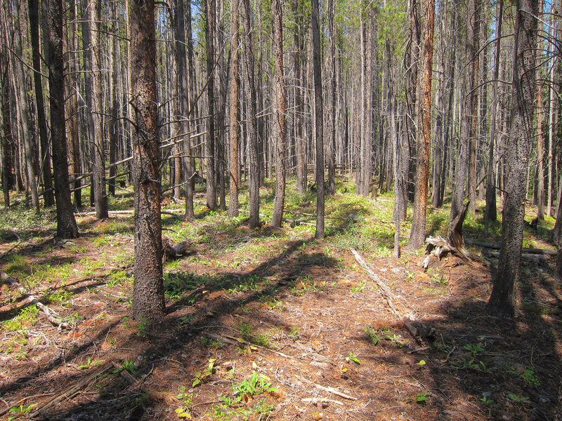 Lodgepole pine (Pinus contorta) forest on  Eagles Nest Wilderness Lily Pad Lake Trail