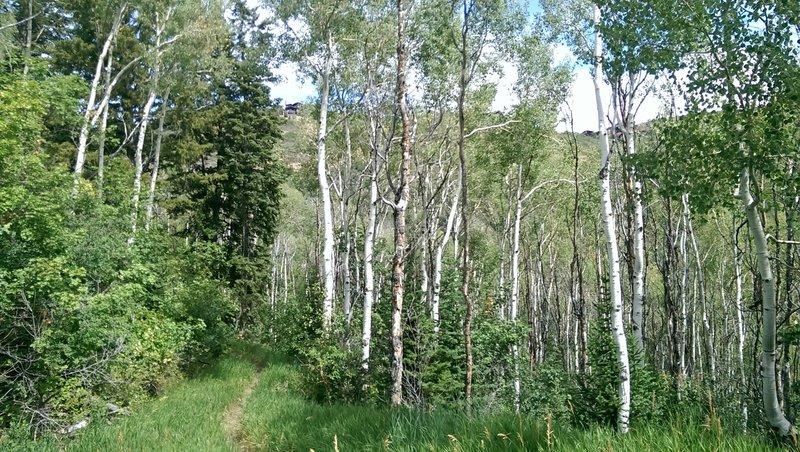 Aspens along the trail