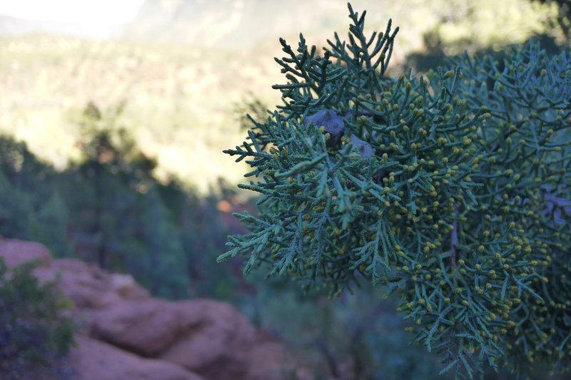 A juniper?  On the Wilson Mountain Trail.
