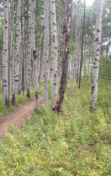 Healthy aspen grove