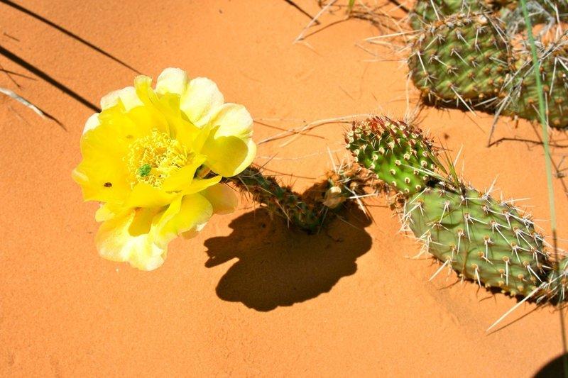 Cactus flower on  Devil's Garden Loop