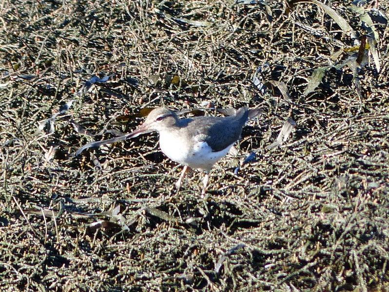 Small shorebird