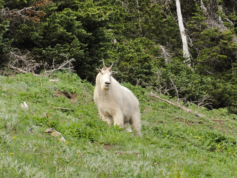 Mountain goat (Oreamnos americanus) on Switchback Trail to Klahhane Ridge