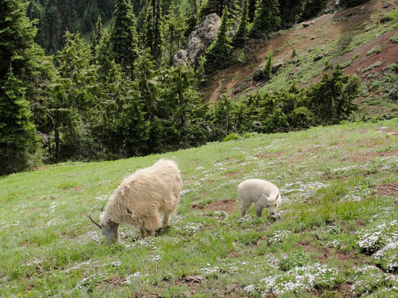 Mountain goats (Oreamnos americanus) on Olympic National Park Switchback Trail
