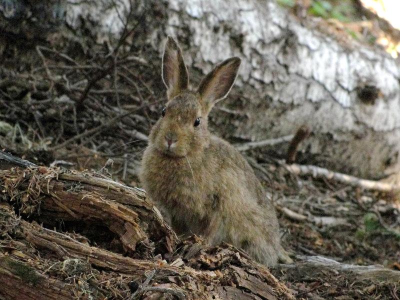 Snowshoe hare (Lepus americanus) on the High Ridge Nature Trail