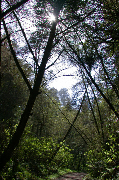 Typical canopy on the Bear Valley Trail