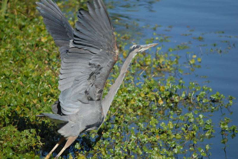 Blue Heron near Abbotts Lagoon
