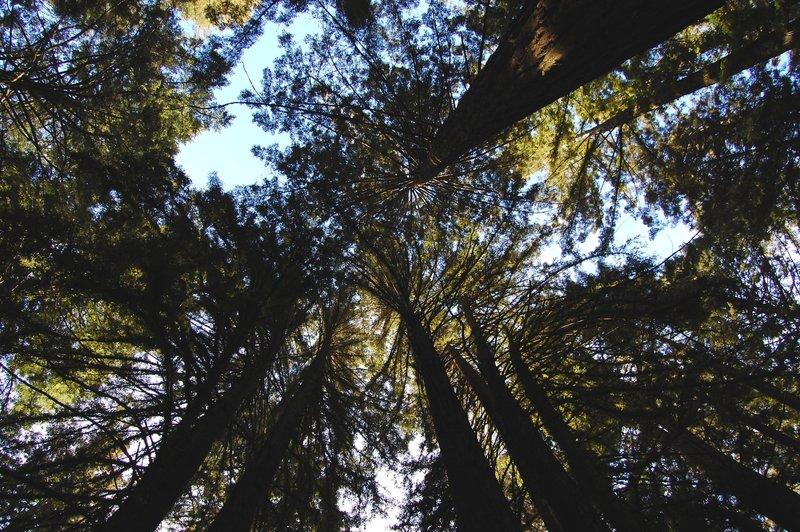 Typical Bolinas Ridge Trail canopy