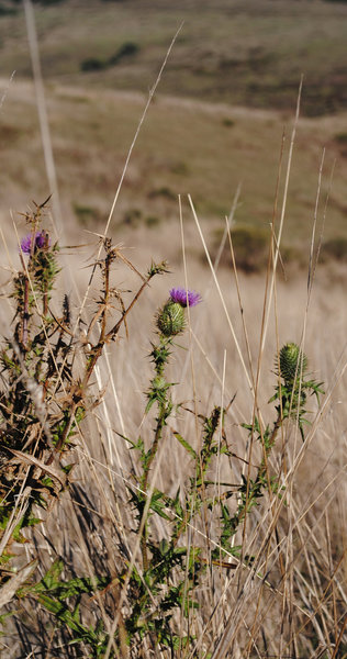 Thistle along the Bull Point Trail