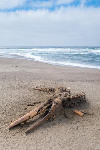 Dead whale carcass