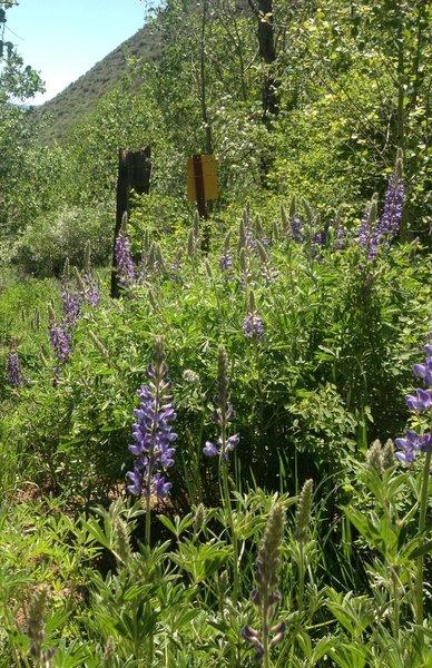 Wild lupine flowers in June.